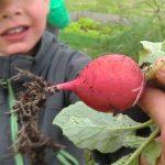 Kind hält Radieschen auf dem Bauernhofkindergarten